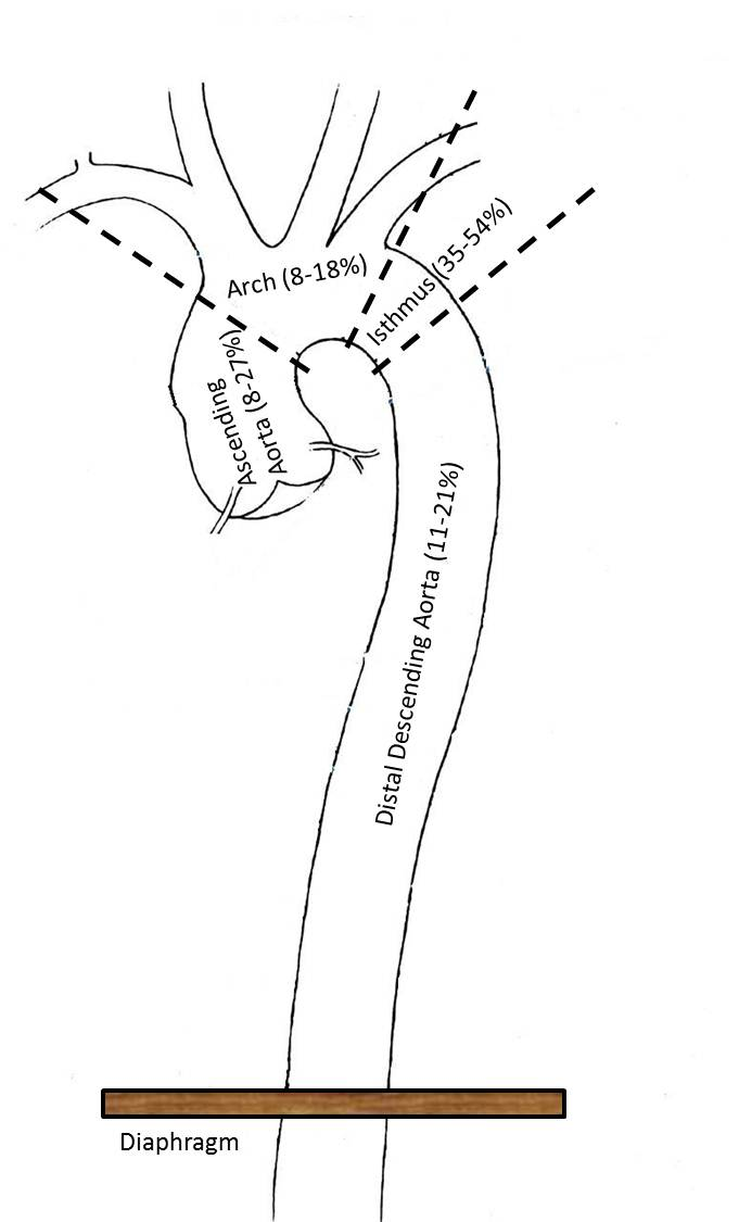 Related Keywords Amp Suggestions For Isthmus Aorta